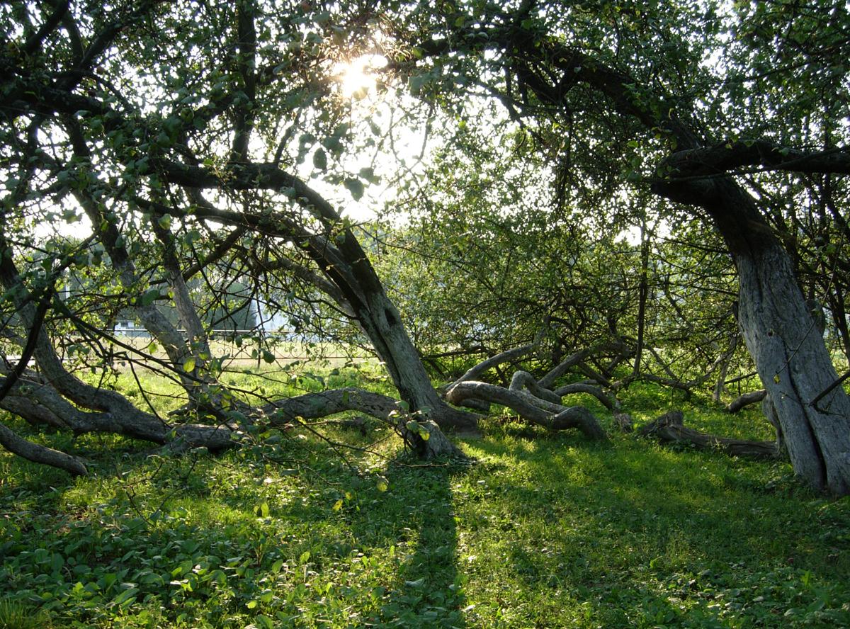 Украина : Природное чудо Украины: Яблоня-колония на Сумщине
